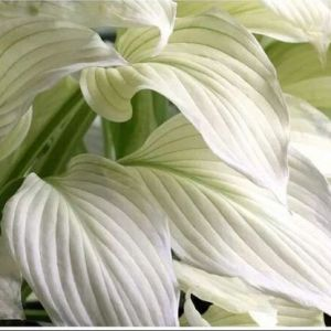 FUNKIA-HOSTA WHITE FEATRHER