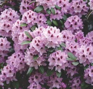 RODODENDRON HUMBOLD