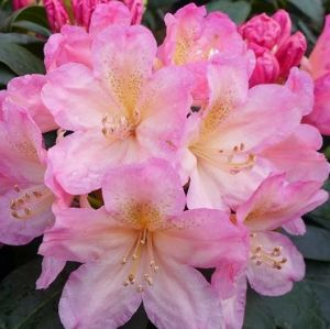 RODODENDRON PERCY WISEMAN